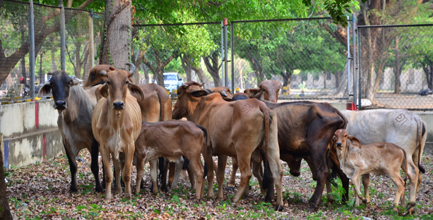 ganado-de-diomedes